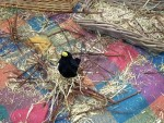 One happy blackbird